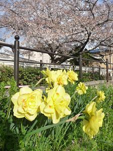 八重咲きのスイセン