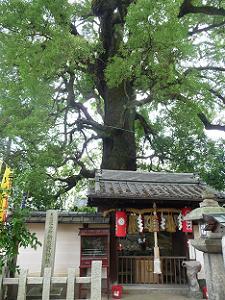 新熊野神社の影向の大樟