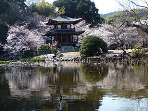 氷室池越しに見た観音堂と桜