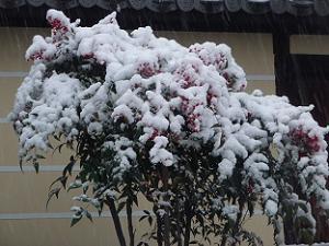 雪が積もったナンテン