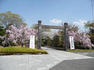 入口付近の八重紅枝垂れ桜