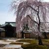 京都の桜散策コース-清水寺、高台寺、円山公園、知恩院編