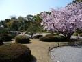 京都の桜散策コース-京都御所、京都府庁、二条城編