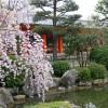 京都の桜散策コース-三十三間堂、養源院、智積院編