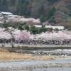 京都の桜散策コース-二尊院、天龍寺、嵐山公園編