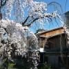 京都の桜散策コース-祇園白川、鴨川、高瀬川編