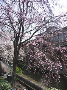 咲き始めたばかりの紅枝垂れ桜