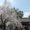 京都の桜散策コース-平野神社、千本釈迦堂、立本寺編