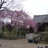 京都の桜散策コース-法金剛院、退蔵院、等持院編
