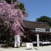京都の桜散策コース-上賀茂神社、賀茂川、半木の道編