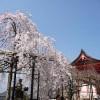 仁王門近くの枝垂れ桜