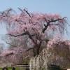 満開の祇園枝垂れ桜