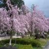 京都の桜散策コース-実相院、妙満寺、宝ヶ池公園編