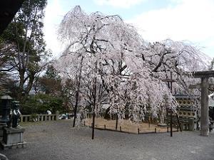 大石神社の大石桜