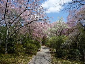 龍安寺の桜苑
