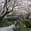 京都の桜散策コース-雨宝院、千本ゑんま堂、上品蓮台寺編