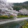 京都の桜散策コース-毘沙門堂、山科疎水、本圀寺編