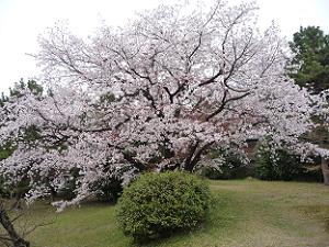 養源院の山桜