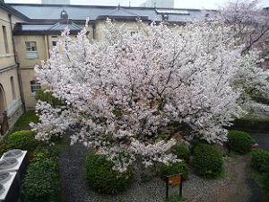 2階から見た容保桜