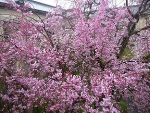 2階から見た八重紅枝垂れ桜