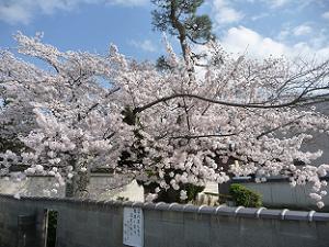 駐車場から見た桜