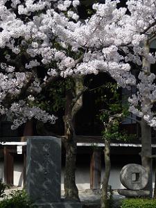溝口健二の碑と桜