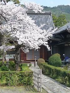 寺務所と桜