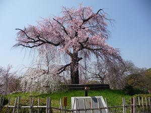 円山公園の祇園枝垂れ桜