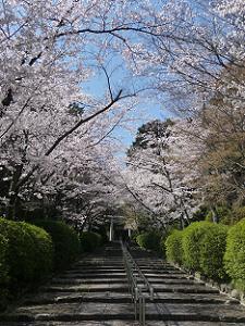 見上げる石段脇の桜