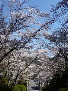 石段の中ほどから見下ろす桜