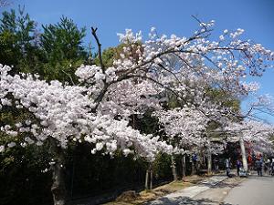 参道の満開の桜