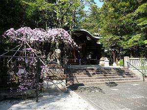 本殿前の枝垂れ桜