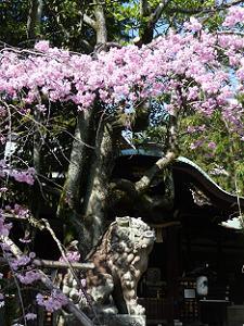 狛犬と枝垂れ桜