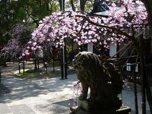 日差しを浴びた枝垂れ桜