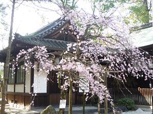 再び参道わきの枝垂れ桜