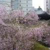 御幸桜と六角堂