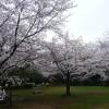 無人の公園で咲き誇る桜