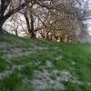 芝生に積もった桜の花びら