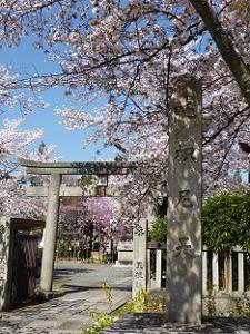 荼枳尼天と桜