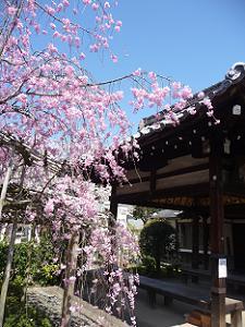 荼枳尼天の八重紅枝垂れ桜