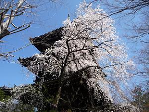 三重塔と枝垂れ桜
