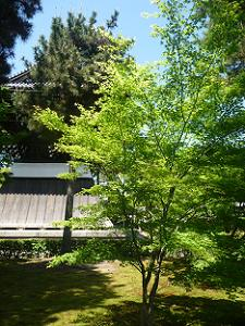 背の低いカエデの木