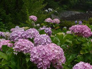 紫色のアジサイのアップ