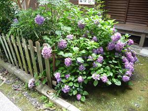 紫色の西洋アジサイ