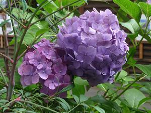 紫色の西洋アジサイのアップ