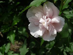 薄桃色の花