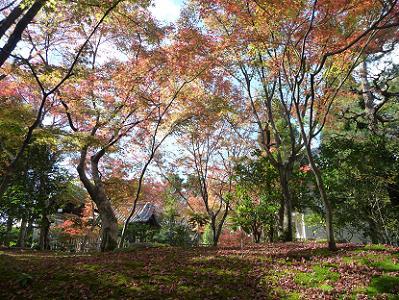 苔に散るモミジと輝く紅葉