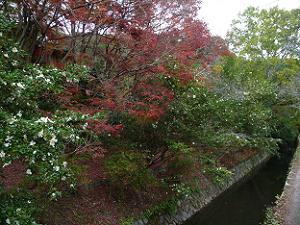 サザンカと紅葉