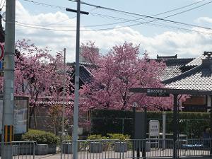 バス停とオカメ桜