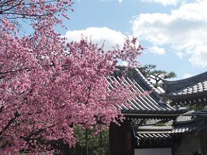 オカメ桜と山門